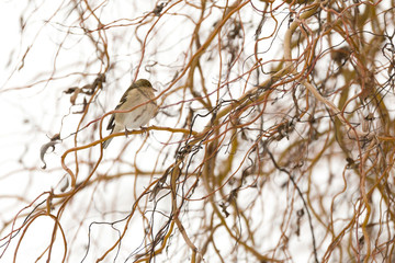 Oiseau pinson des arbres dans les branches