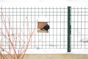Oiseau noir - Merle à la mangeoire