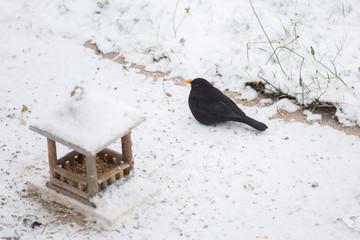 Oiseau Merle à la mangeoire en hiver