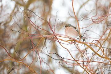 Oiseau pinson dans les branches