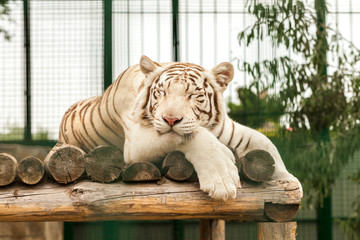 White Tiger lying on the wooden floor in zoo cage