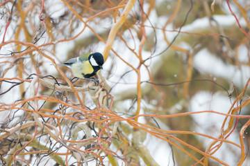 Oiseau Mésange charbonnière dans les branches