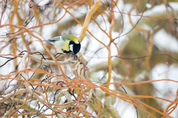 Oiseau Mésange charbonnière dans l'arbre