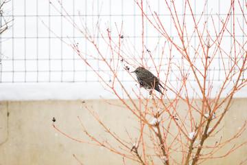 Oiseau étourneau en hiver