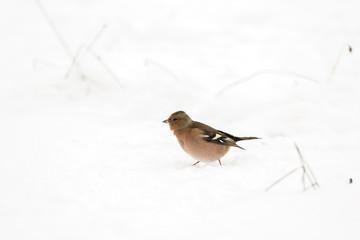 Oiseau pinson dans la neige