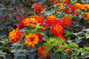 Lantana small red variety, contrast and blur beautiful garden.