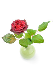 withering rose in a small vase isolated over white background
