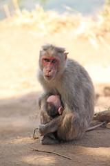 Macaco asiatico 03