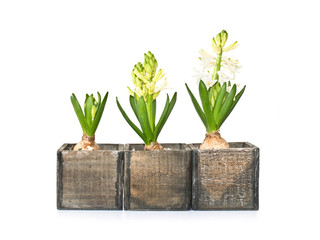 Three hyacinths at different stages of growth