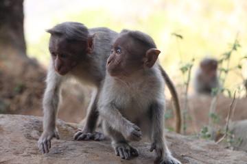 Macaco asiatico 05