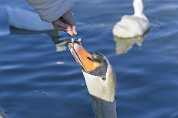Swan eating some bread