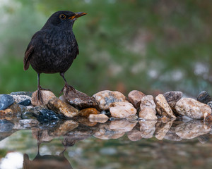 A male blackbird at the edge of a water pond