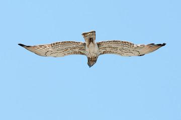 Short-toed eagle (Circaetus gallicus) flying overhead