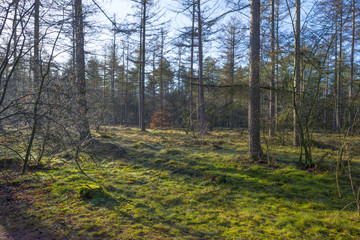 Sunlit moss in a pine forest in winter