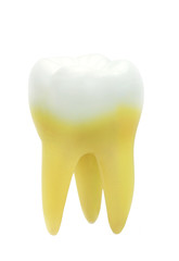Tooth model isolated on white background.