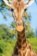 Hallo Giraffe