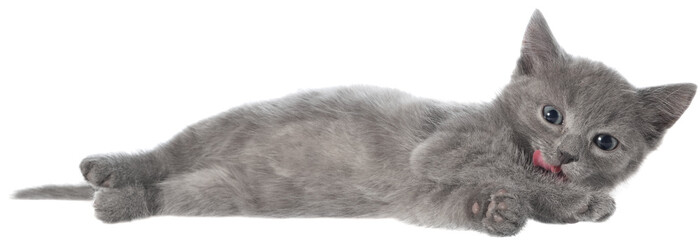Small gray shorthair kitten lie isolated