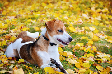 Cute jack russell terrier, dog with a stick