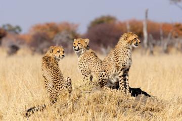 Cheetah cubs on termite mount