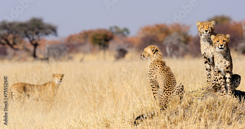 Plexiglas Afrika Cheetah cubs on termite mount
