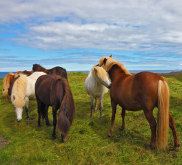 Icelandic horses on free ranging