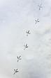 canvas print picture - Spur eines Vogel im Schnee