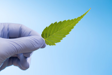 Green leaf of a plant in the hand of the scientist