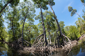 Mangrove Trees and Roots