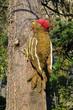 Leinwanddruck Bild - Merano - Gola della Gilf - Il Picchio verde sul cedro