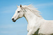 Portrait of white running horse - 75557208