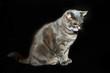Adult purebred gray cat