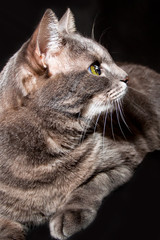 Portrait of an adult gray cat