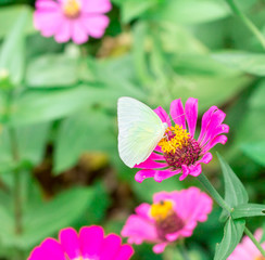 butterfly on pink flower in the garden on sunny day