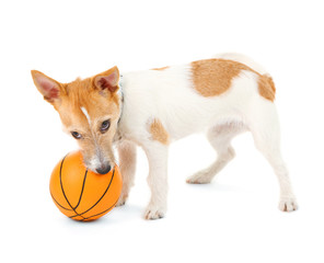 Funny little dog Jack Russell terrier playing with ball,