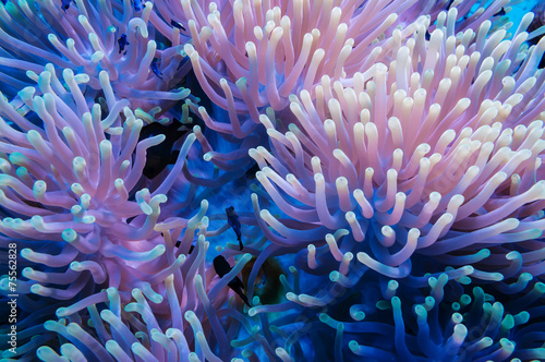 Clownfish and anemone on a tropical coral reef - 75562828