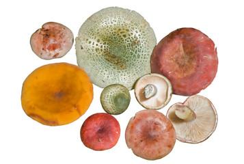 Mushrooms (Agaric) 10