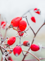 Red berries of wild rose with hoarfrost