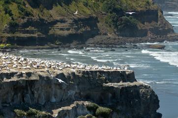 Muriwai gannet colony - New Zealand