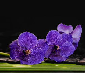 Still life with blue orchid with set of plant stem