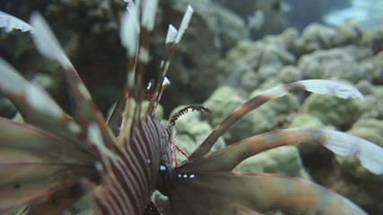 Lionfish on the coral reef underwater