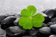 Macro of Shamrock leaf and wet stones on wet