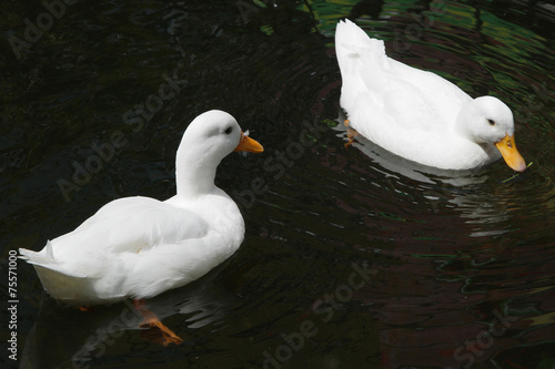 Fotobehang Romantic white ducks couple