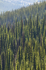 Landscape with forest in Bristish Columbia. Mount Revelstoke. Ca