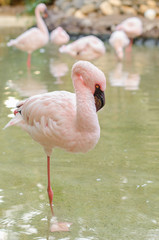 Flamingo stand on one leg
