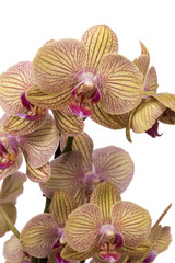 yellow and purple orchid isolated against white