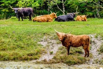 Scottish Highlands cows