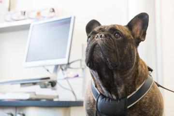 French Bulldog at the veterinarian