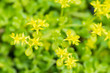 Hama stonecrop, Crassulaceae, Japan, endangered species