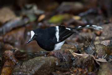 Northern White-crowned Forktail ( Enicurus sinensis )