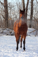 Quarter horse in the winter farm